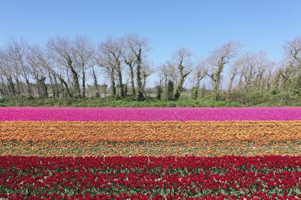 Tulipany we Francji - Sputnik Polska