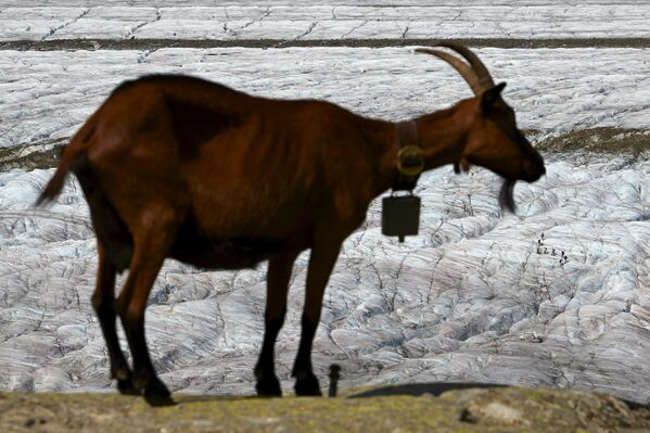 Koza na lodowcu Aletschgletscher w Alpach - Sputnik Polska