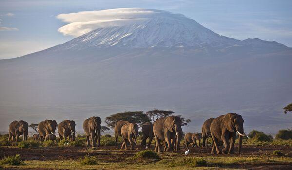 Stado słoni na tle góry Kilimandżaro, Kenia - Sputnik Polska