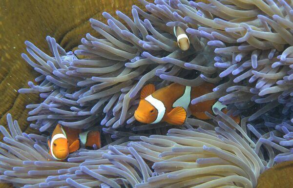 Ryby pływające w Wielkiej Rafie Koralowej w Australii - Sputnik Polska