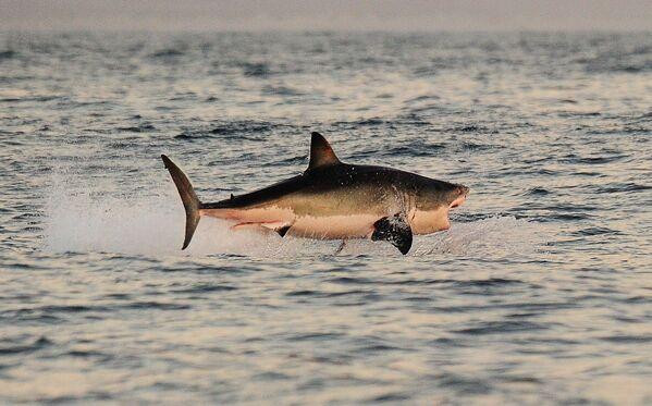 Biały rekin w Południowej Afryce - Sputnik Polska