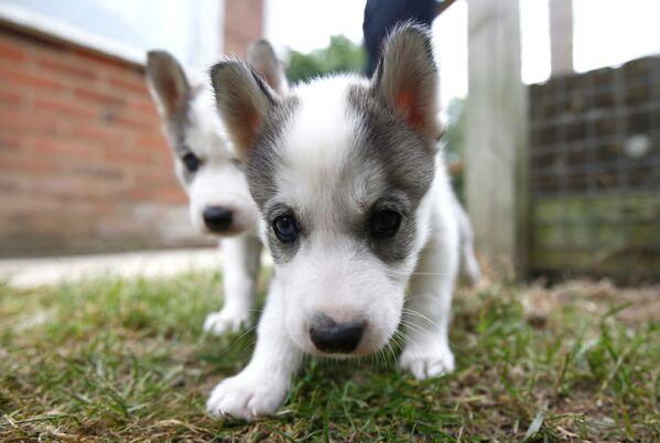 Szczenięta syberyjskich Husky w brytyjskim mieście Tonbridge - Sputnik Polska