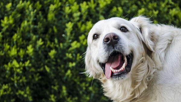 Pies rasy golden retriever - Sputnik Polska