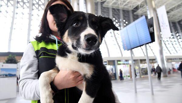 Maskotka lotniska w Symferopolu border collie Alisa - Sputnik Polska