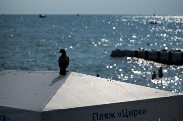 Gołąb na plaży w Soczi - Sputnik Polska