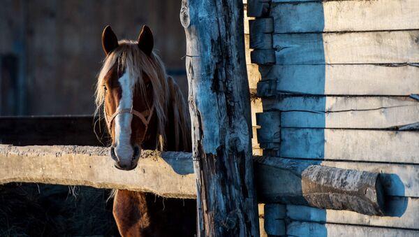 Koń w miejscowości Bobrowka w obwodzie omskim - Sputnik Polska