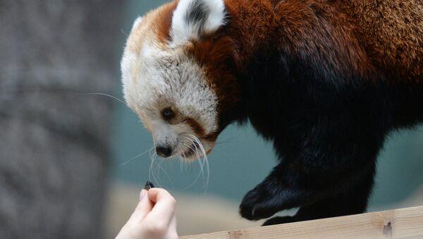 Samica czerwonej pandy w Moskiewskim ZOO - Sputnik Polska
