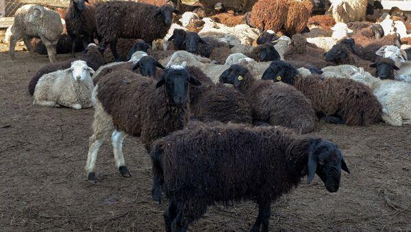 Owce - Sputnik Polska