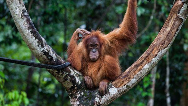 Orangutan - Sputnik Polska