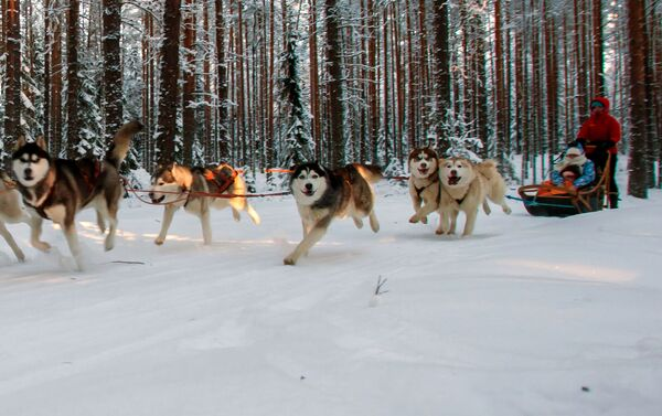 Jazda turystów na psim zaprzęgu na terenie kompleksu turystycznego Karjala Park - Sputnik Polska