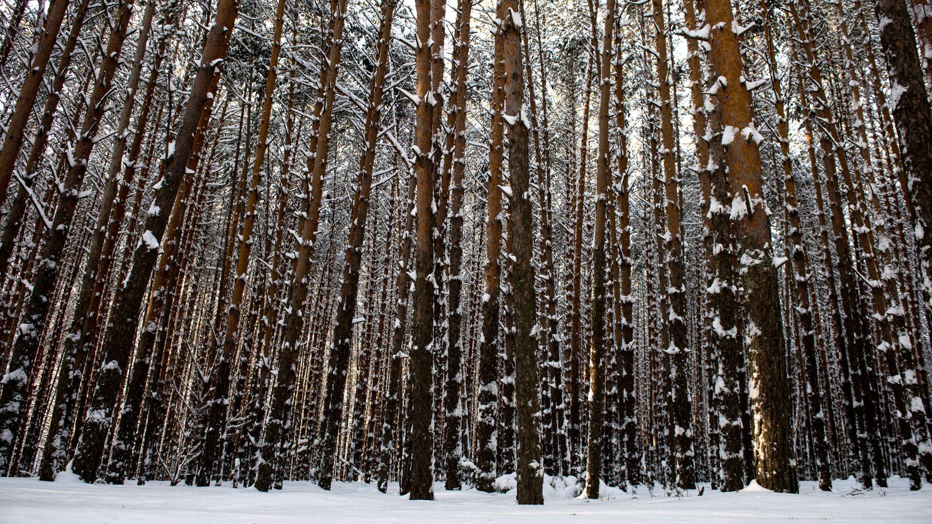 Zimowy las na wsi Atak dzielnicy Tarskiej - Sputnik Polska, 1920, 14.10.2021