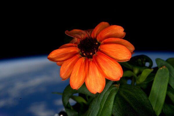 Kwiatek Cynii, wychowany na pokładzie Międzynarodowej stacji kosmicznej - Sputnik Polska