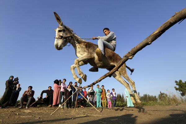 Egipski rolnik na ośle skacze przez przeszkodę w miejscowości Al-Arid - Sputnik Polska