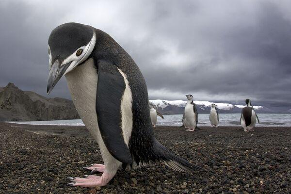 Pingwiny na Antarktydzie - Sputnik Polska