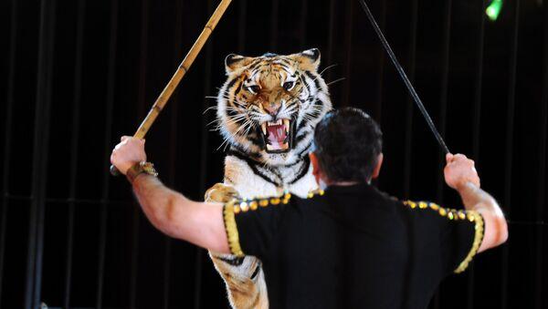 Treser i tygrys na arenie cyrku - Sputnik Polska