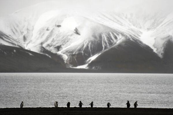 Pingwiny białobrewe na Antarktydzie - Sputnik Polska
