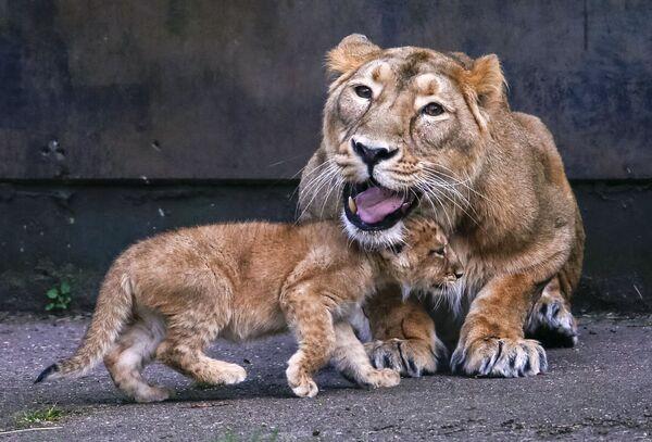 Azjatyckie lwiątka w belgijskim ogrodzie zoologicznym - Sputnik Polska