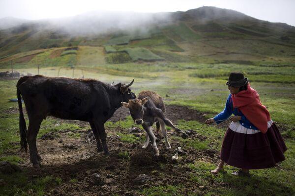 Cielę nie chcę odejść od matki, Uchuraccay, Peru - Sputnik Polska