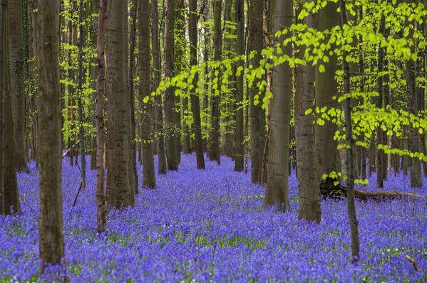 Dzikie dzwonki w lesie w pobliżu miejscowości Halle, Belgia - Sputnik Polska