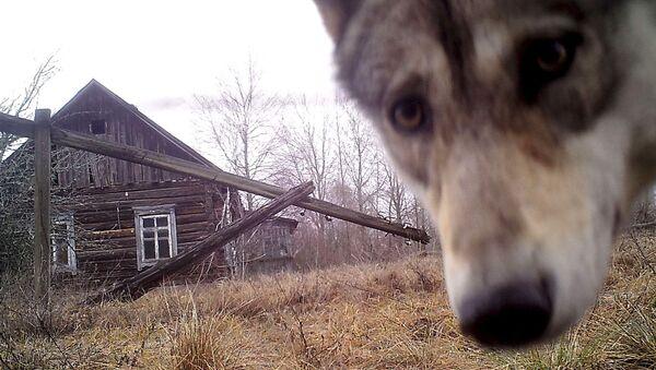 Wilk przy opuszczonym domu w opuszczonej wiosce Orewiczy - Sputnik Polska