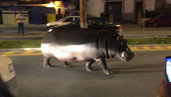 Mieszkańcy miasta Palos de la Frontera zauważyli spacerującego po ulicach hipopotama - Sputnik Polska