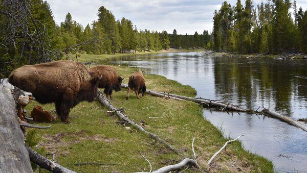 Yellowstone National Park - Sputnik Polska
