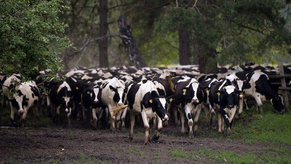 Stado krów w obwodzie nowosybirskim - Sputnik Polska