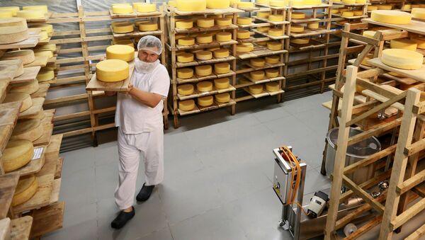 Oleg Sirota zajęty przekładaniem kręgów sera w dojrzewalni serowarni Rosyjski Parmezan - Sputnik Polska