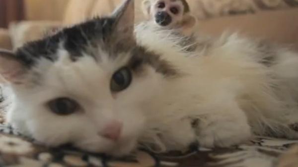 Rosyjska kotka zaadoptowała małpkę - Sputnik Polska
