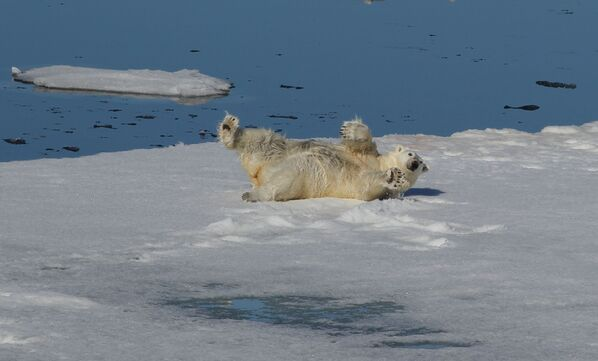 Niedźwiedź polarny w Oceanie Arktycznym - Sputnik Polska