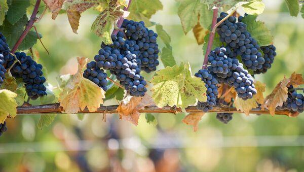 Winnice w gospodarstwie winnym UPPA Winery. Bałakławski rejon Sewastopola - Sputnik Polska