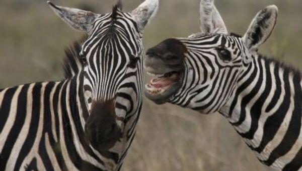 Зебры в национальном парке Найроби - Sputnik Polska