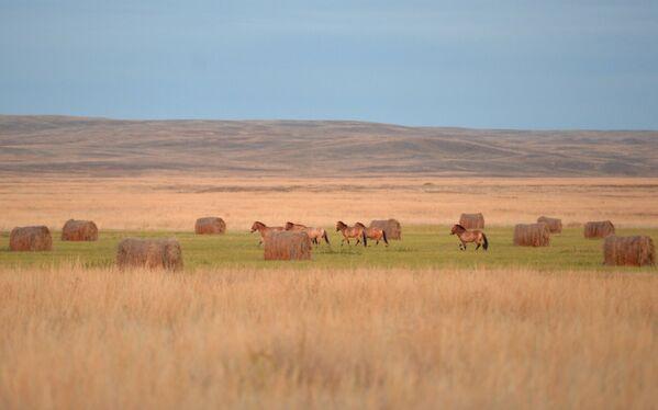 Wypuszczenie sześciu koni Przewalskiego z zagrody aklimatyzacyjnej w Centrum Reintrodukcji Koni Przewalskiego na teren rezerwatu - Sputnik Polska
