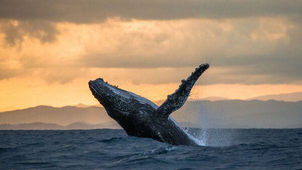 Wieloryb podczas zachodu słońca na Madagaskarze - Sputnik Polska