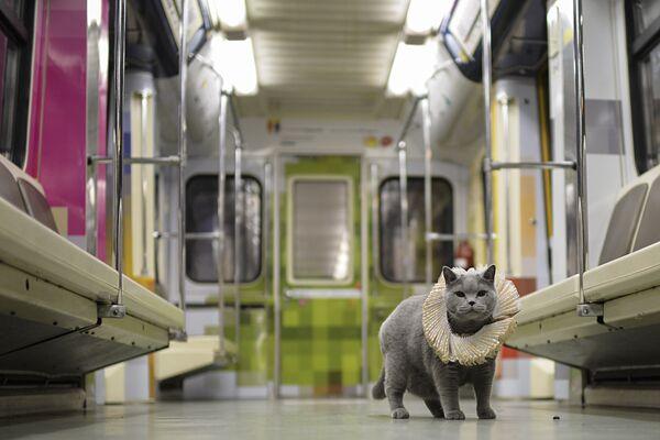 """Czystej krwi brytyjski kot został pierwszym pasażerem na trasie pociągu moskiewskiego metra """"Szekspirowskie Namiętności"""", który został uruchomiony na linii Arbacko-Pokrowskiej, poinformowano w British Council. - Sputnik Polska"""