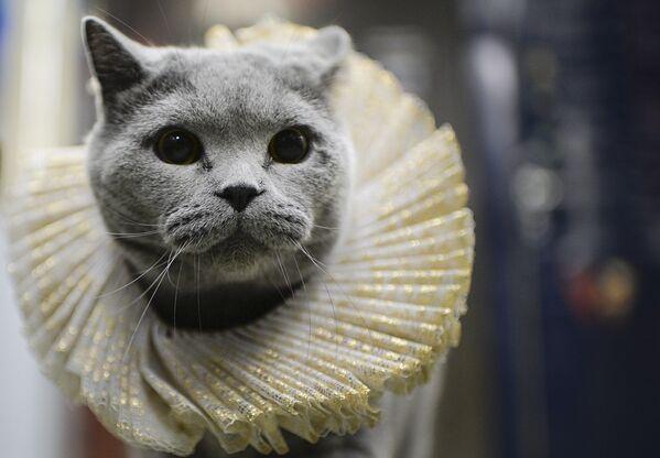 Domowy kot dobrze czuł się w wagonie metra. - Sputnik Polska