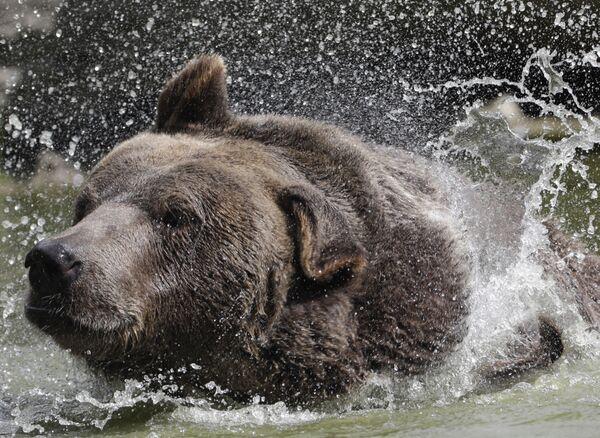 Niedźwiedź syryjski Leo w schronisku dla osieroconych dzikich zwierząt w Otisville, w stanie Nowy Jork, USA - Sputnik Polska