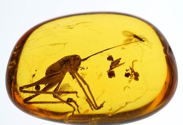 Szczątki owadów lub roślin, które trafiają do bursztynu, są spotykane w przyrodzie dość często. Nazywają się inkluzami. - Sputnik Polska