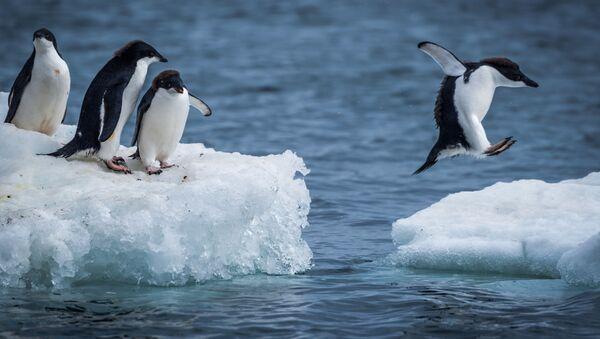 Pingwin Adeli to jeden z najszerzej rozpowszechnionych gatunków pingwinów. Nazwany został przez francuskiego badacza Jules'a Dumont d'Urville'a na cześć swojej żony. Pingwin Adeli jest bardzo ufny, a swoim zachowaniem niekiedy przypomina człowieka. - Sputnik Polska
