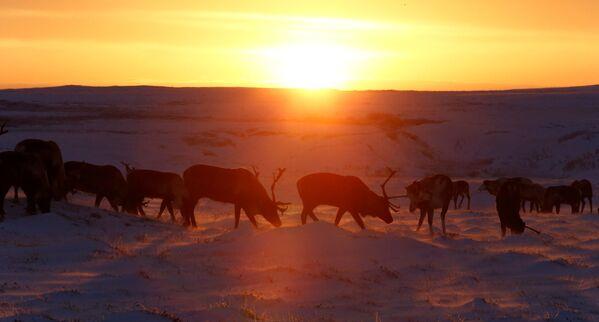 Renifery pasą się podczas zachodu słońca w Nienieckim Okręgu Autonomicznym - Sputnik Polska