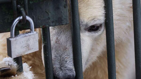 Biały niedźwiadek w centrum reprodukcji rzadkich gatunków zwierząt moskiewskiego zoo w miejscowości Syczewo w obwodzie moskiewskim - Sputnik Polska