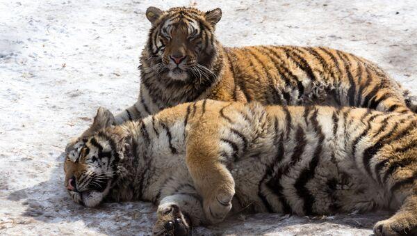 Tygrysy w Parku Tygrysów Syberyjskich w Chinach - Sputnik Polska