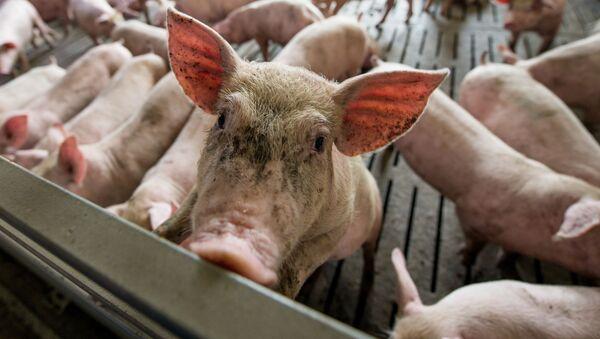 Świnie w chlewni - Sputnik Polska