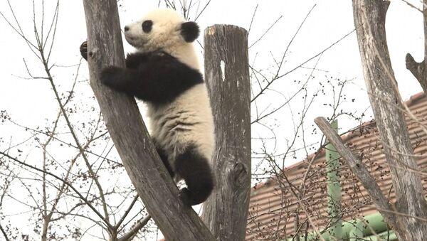 Sześciomiesięczne pandy po raz pierwszy wyszły na spacer w wiedeńskim ZOO - Sputnik Polska