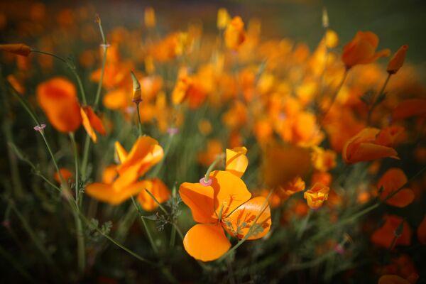 Początek wiosny w Kalifornii - Sputnik Polska