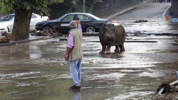 Hipopotam, który uciekł z zoo w Tbilisi - Sputnik Polska