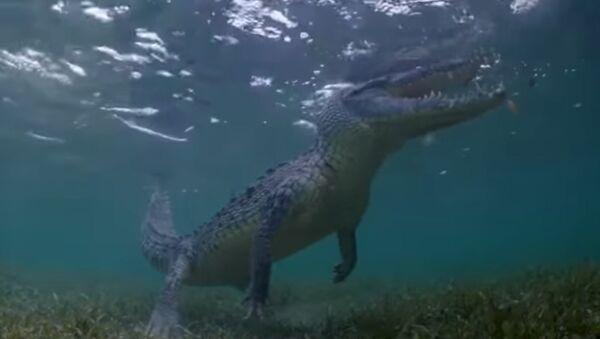 Turyści nagrali, jak pływają z ogromnymi krokodylami - Sputnik Polska