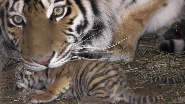 Tygrysica Frosja w krymskim parku safari - Sputnik Polska