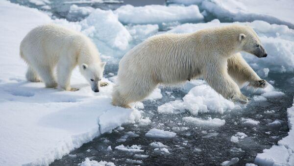 Niedźwiedzica dba o swoje młode, ucząc je wszystkich tajników życia arktycznego przez kilka lat. - Sputnik Polska