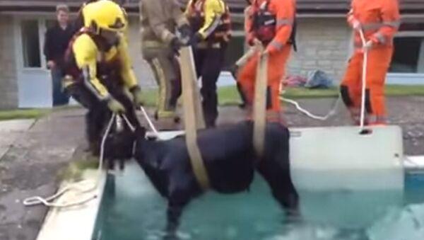 W Anglii ratownicy musieli wyciągać krowę z basenu - Sputnik Polska